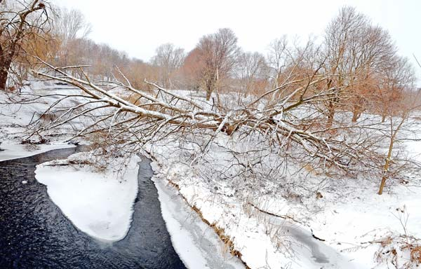 A tree split and battered by ice and wind during the storm at Bolender Park in Elmira. [Elena Maystruk  / The Observer]